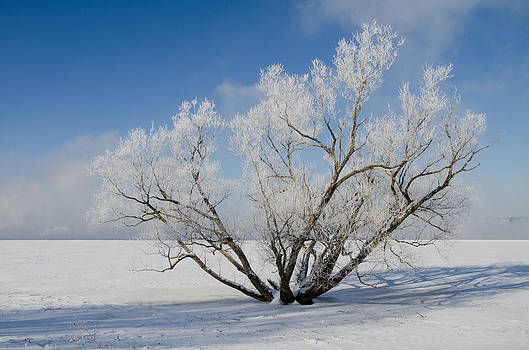 Large Tree with Hoar Frost. Remic Rapids. by Rob Huntley