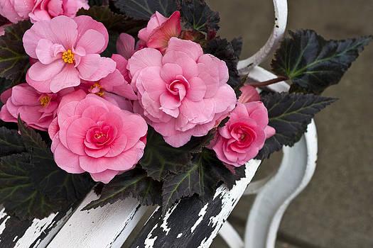 Sandra Foster - Last Of Summer  -  Begonias On Bench