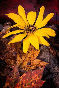 Chris Bordeleau - Last Sunflower in Autumn leaves