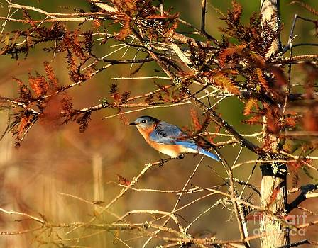 Late Fall Bluebird by Theresa Willingham