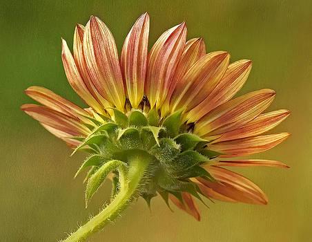 Late Summer Sunflower by Liz Mackney