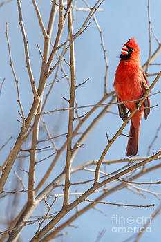 Late Winter Cardinal Song by Natural Focal Point Photography