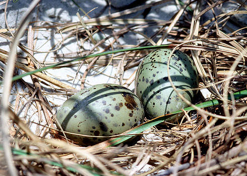 Laughing Gull Eggs by Millard H. Sharp