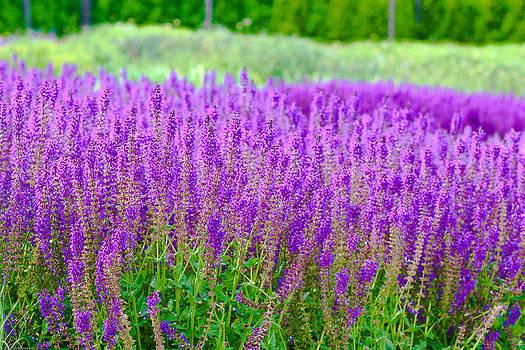 Lavender by Allan Millora