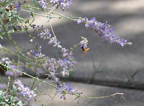 Lavender and Bee by John Moody