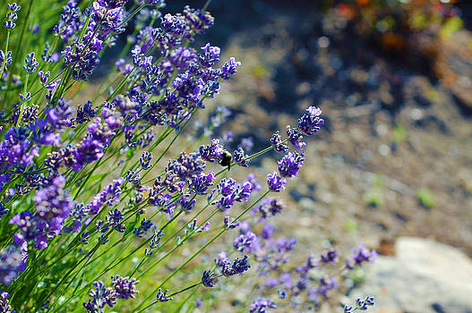 Lavender and Bee by Willie Chea