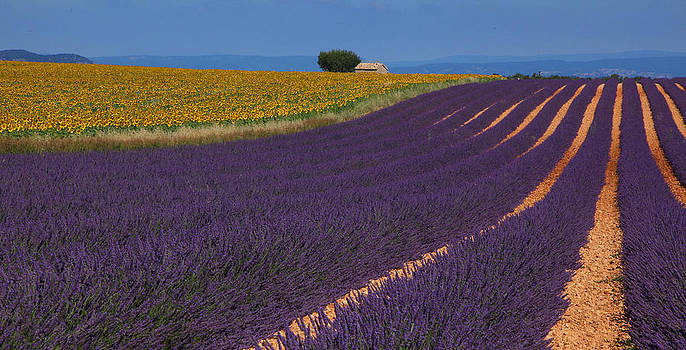 Susan Rovira - Lavender and Sunflowers