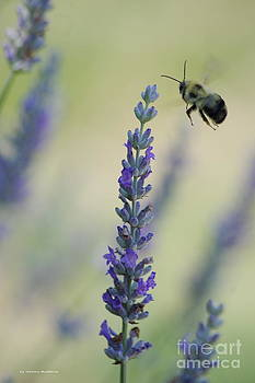 Lavender and the Bee by Tannis  Baldwin