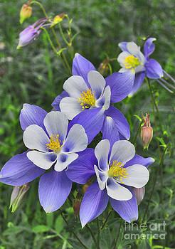 Mae Wertz - Lavender and White Star Flowers