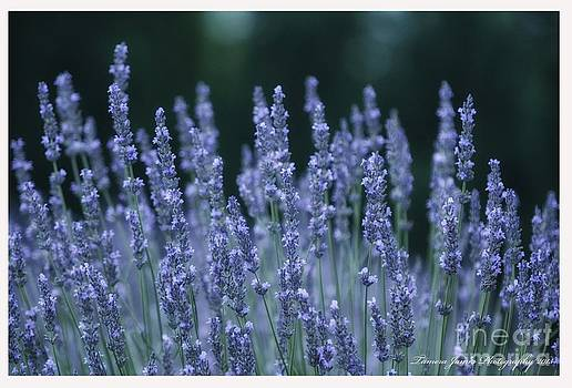 Lavender Beauty by Tamera James
