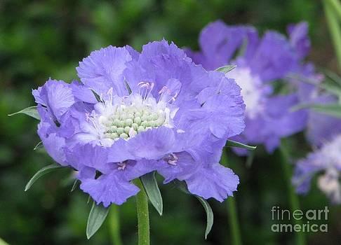 Lavender Blue Pincushion Flower by Judyann Matthews