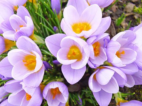 Baslee Troutman - Lavender Crocus Floral Art Photography