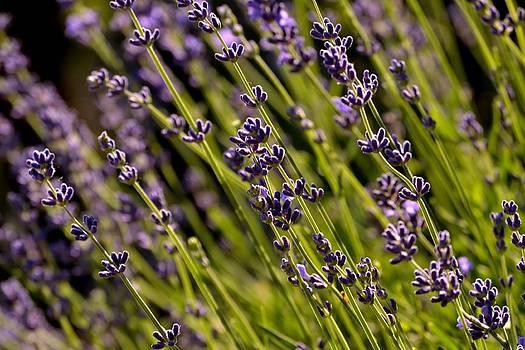 Lavender by Debbie Patrizi