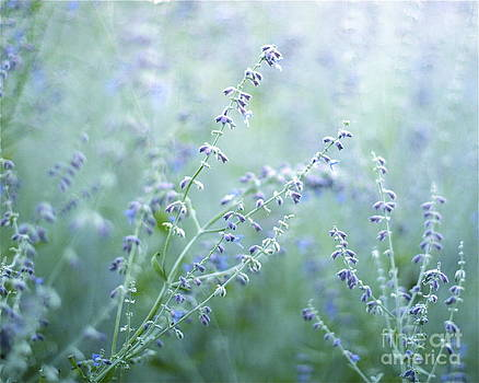 Lavender Dream  by Kimberly Nickoson