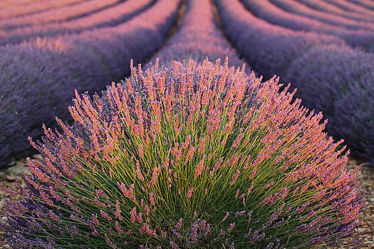 Alex Sukonkin - Lavender field