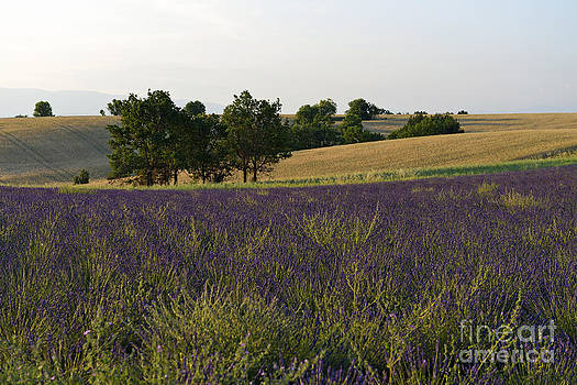 Lavender fields at sunset by Sami Sarkis