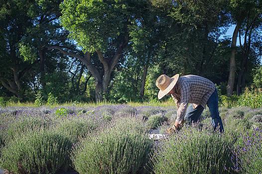 Mary Lee Dereske - Lavender Harvest