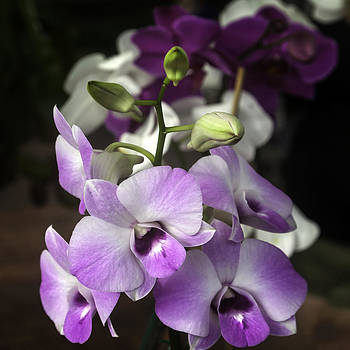 Lynn Palmer - Lavender Magenta and White Orchids