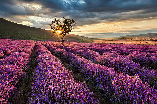 Lavender morning by Evgeni Ivanov