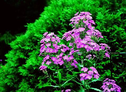 Gary Wonning - Lavender Pansies