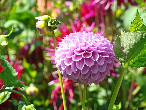 Baslee Troutman - Lavender Purple Dahlia Flowers art Prints