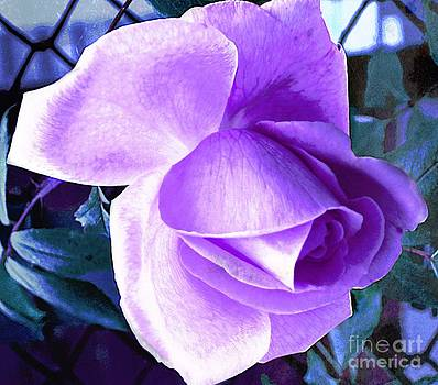 Lavender Rose by Judy Palkimas