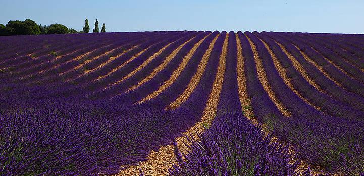 Susan Rovira - Lavender Rows