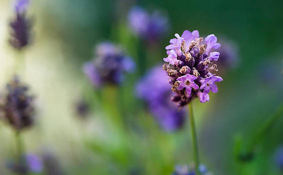 Lavender by Ursula Klepper