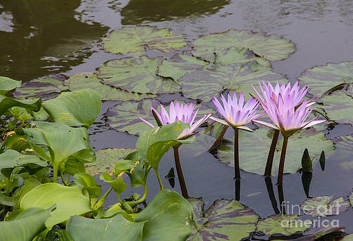 Lavender waterlilies by Jill Bell