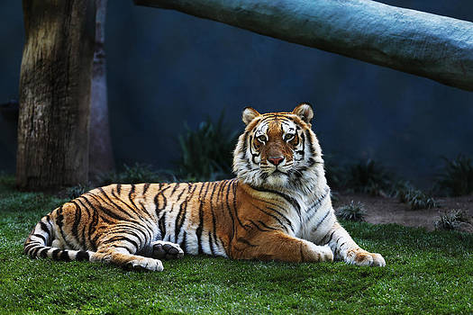 Laying Tiger by Kim French