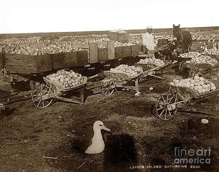 California Views Mr Pat Hathaway Archives - Laysan Albatross eggs collected for harvest in the early 1890s.