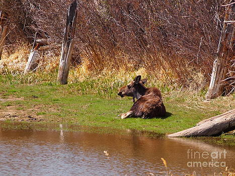 Lazy Moose by Randy Thornhill
