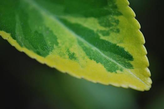 Leaf Coloration by Lauren Mackay