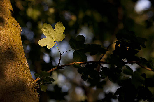 Leaf in the light by David Isaacson