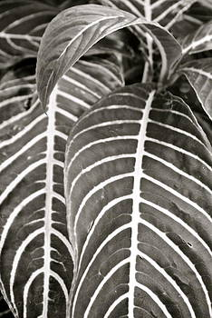 Venetia Featherstone-Witty - Leaf Study in Black and White