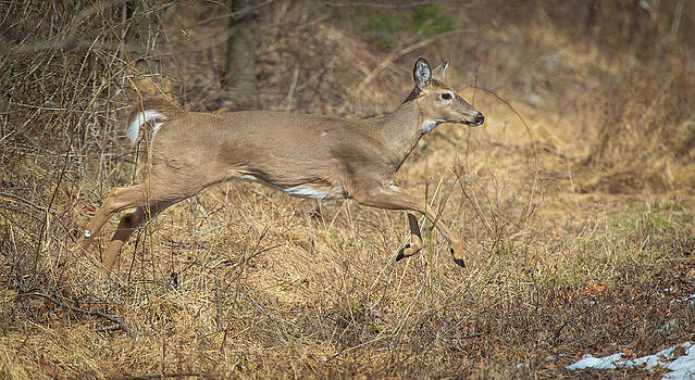 Leaping Doe by Jahred Allen