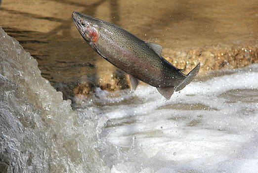 Leaping Trout by Paul Hurtubise