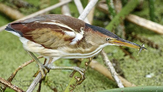 Dee Carpenter - Least Bittern Female feeding