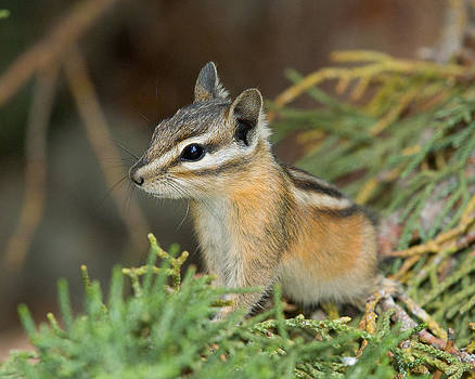 Least Chipmunk 3 by Doug Herr