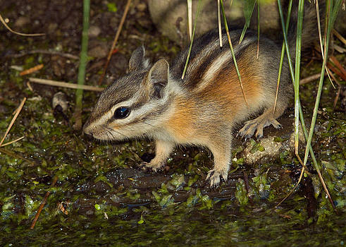 Least Chipmunk 5 by Doug Herr