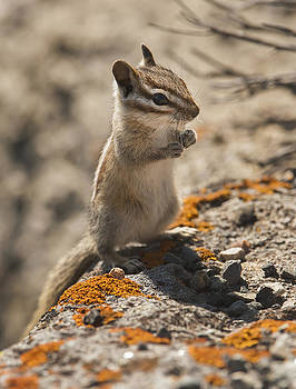 Least Chipmunk by Amy Gerber