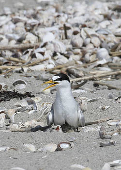 Least Tern by Brian Magnier