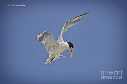 Barbara Bowen - Least Tern hovering