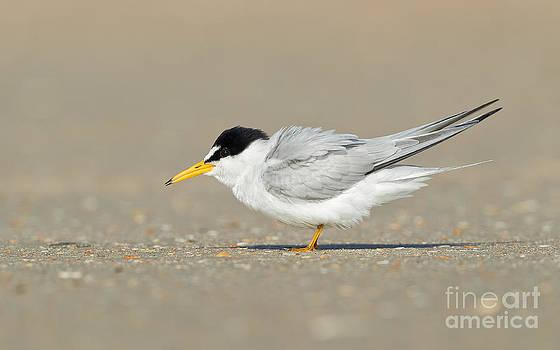 Joshua Clark - Least Tern