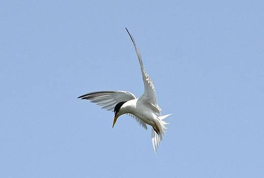 Least Tern by Lorelei Galardi