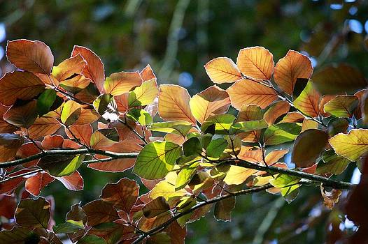 Leaves of Light by Tim Rice