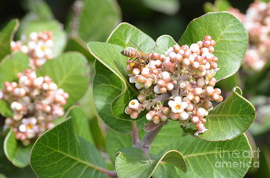 Lemonade Berry Blooms for Bees by Kathy Vilim