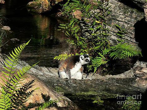Lemur on a Log by Elizabeth S Zulauf