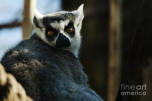 Nancy Stein - Lemuriformes