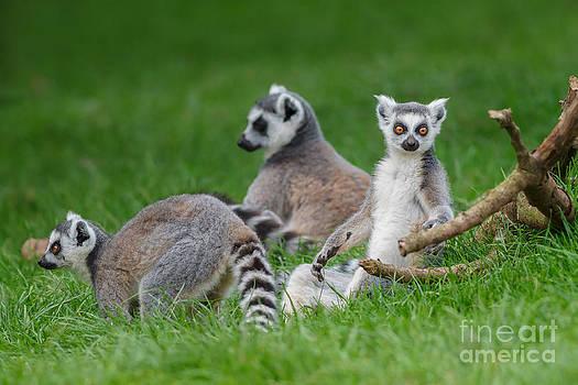 Lemurs by Bahadir Yeniceri